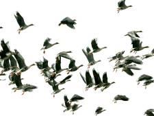 LTO wil alternatieven om van ganzen af te komen