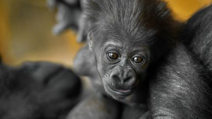 VIDEO. Zo schattig is gorillababy Thandie half jaar na geboorte