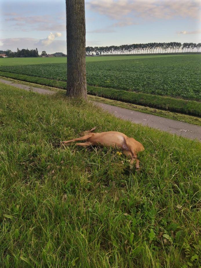 Een dood ree op Goeree-Overflakkee. Aangereden door een auto en uit z'n lijden verlost door een wildbeheerder.