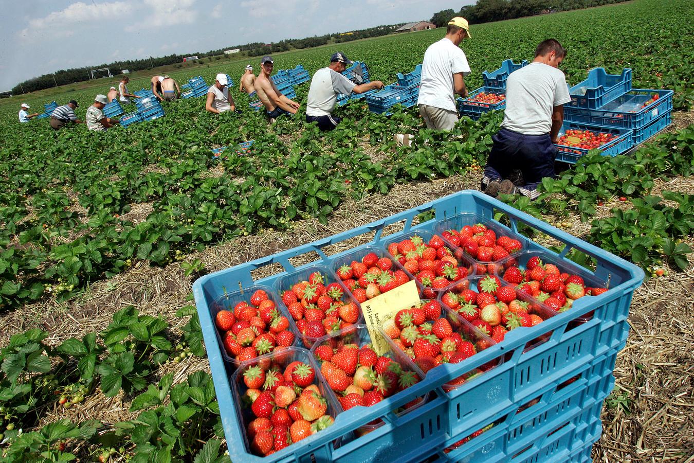 Zo'n 50 Roemeense contractanten plukken de aardbeienvelden leeg in een tropische hitte. Ze moeten allemaal een zorgverzekering hebben, al werken ze hier tijdelijk