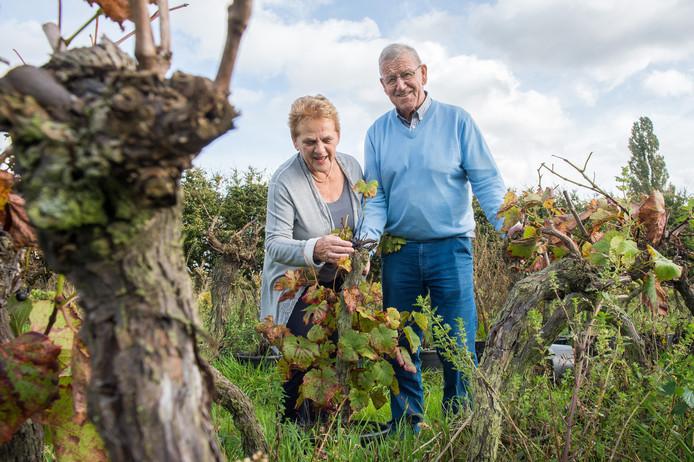 Jos en Betsie Hereijgers hebben inmiddels de laatste druiven geplukt van het handjevol druivenstokken dat ze dit seizoen nog hadden. De enige wijngaard van Zundert is niet meer.