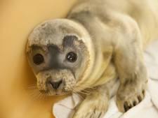 A Seal Stellendam zit vol met jonge zeehonden