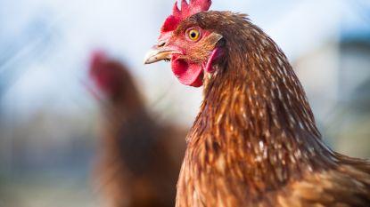 Maatregelen tegen pseudovogelpest blijven van kracht