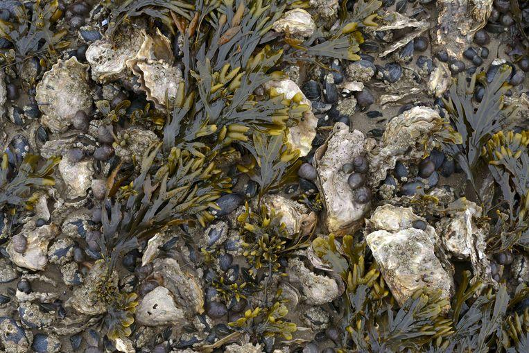 Over honderd jaar hebben we weer oestervelden, denkt Wageningen Universiteit. Beeld Buiten-beeld