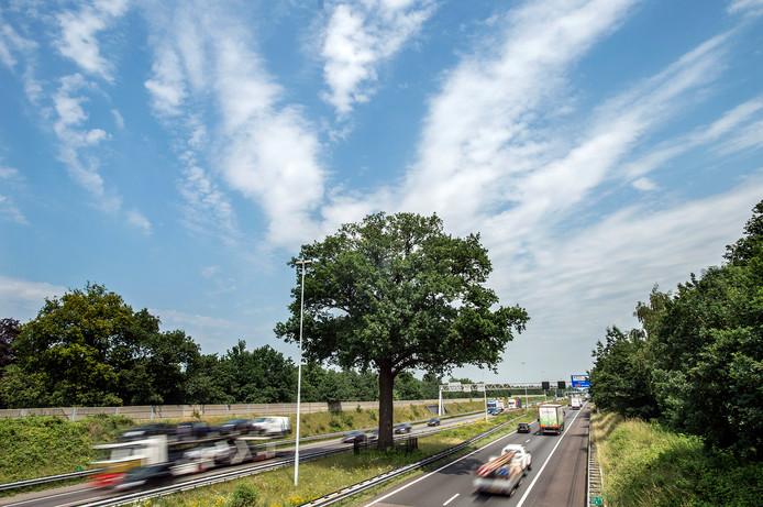 De Troeteleik in de middenberm van de A58 bij Ulvenhout.