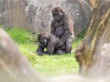 Heel Engeland smult van seksende gorilla's in Blijdorp