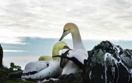 Nigel, een verstokte vrijgezelle vogel die een liefdevol setje vormde met een betonnen soortgenoot en zelfs een nestje voor haar bouwde, is overleden. De jan-van-gent leefde jarenlang in zijn eentje op Mana Island, een onbewoond eiland voor de kust van Nieuw Zeeland.