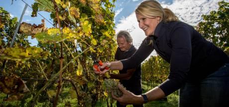 Wijnboeren dronken van geluk om warme zomer