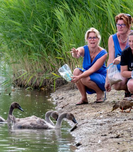 Heteren treurt om verdwenen zwanenfamilie: 'Een groot gemis'