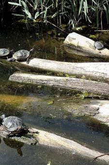 Schildpadden duiken weer op in Schiedam