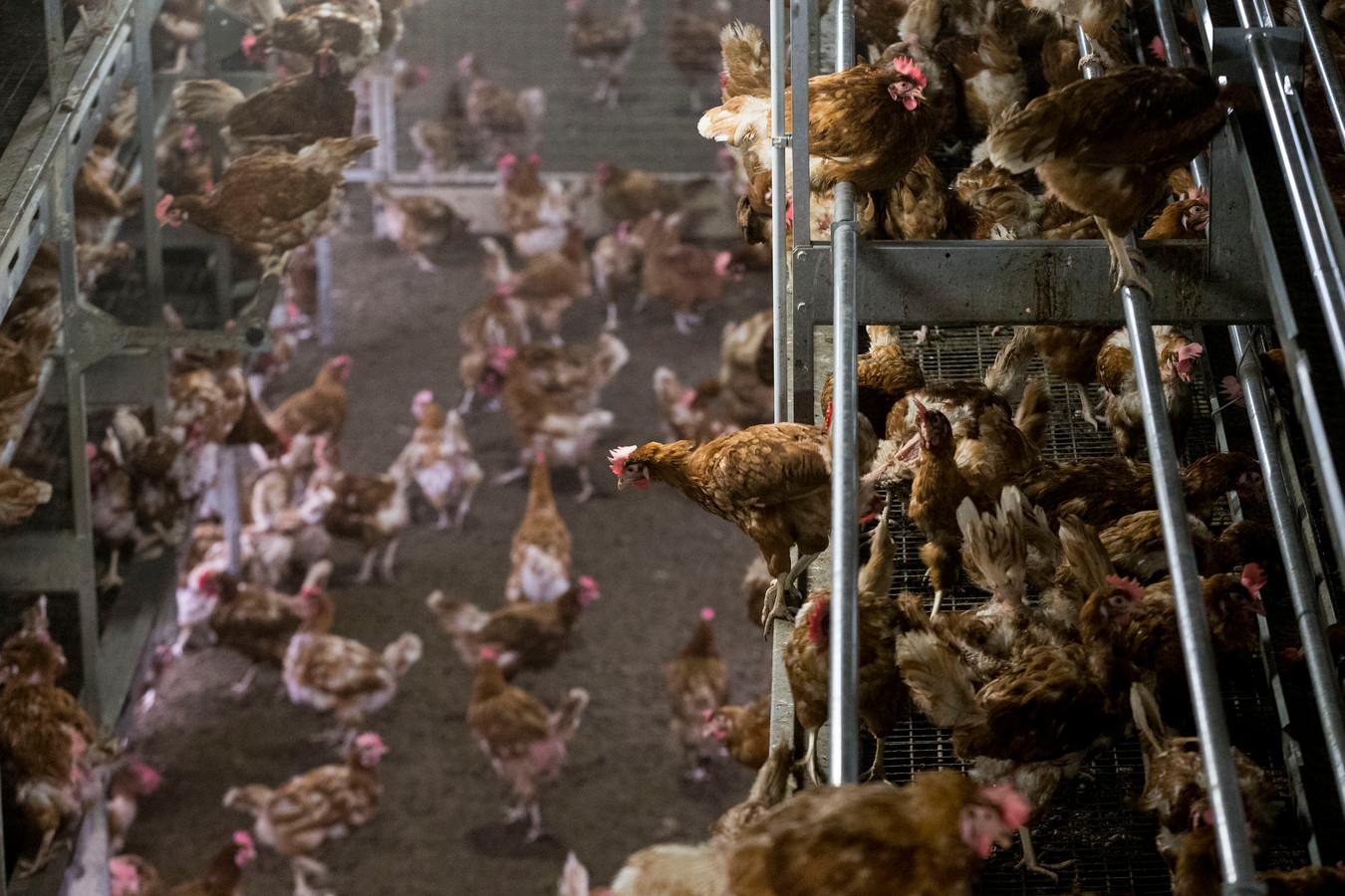 Kippen in een stal van een pluimveebedrijf.