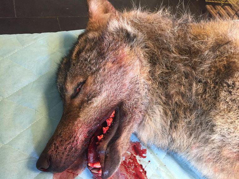De in Drenthe gevonden mannetjeswolf heeft een verbrijzelde schedel en zijn onderkaak is gebroken. Beeld RTV Noord / Steven Radersma