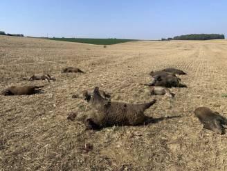 Everzwijnen achtervolgd en verpletterd door 4x4's en tractor in Vogezen