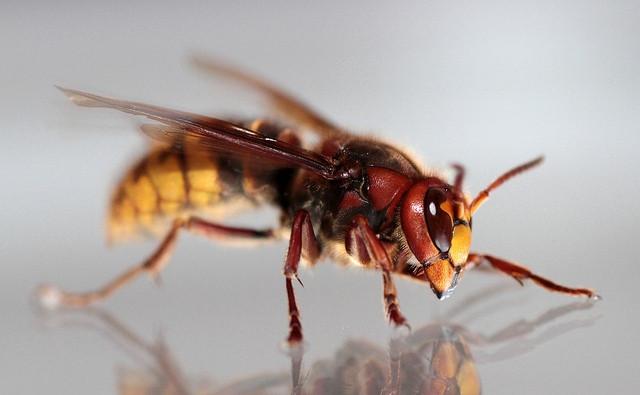 Een hoornaar.