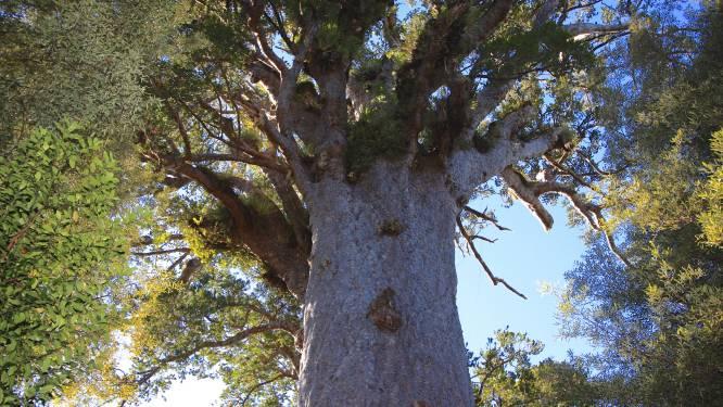 """Nieuw-Zeeland treurt om naderende dood van 's lands grootste én oudste boom: """"Hem verliezen is als familie verliezen"""""""