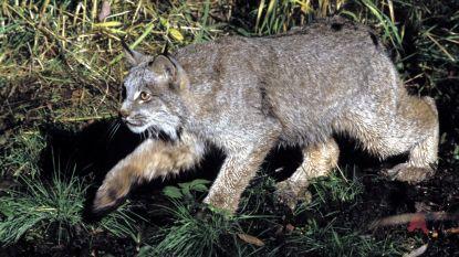 """Limburgse lynx is misschien een Canadese exoot, zegt expert: """"Een ontsnapt exotisch dier?"""""""