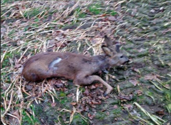 855f2269a40 Ree doodgebeten door hond in Oisterwijkse bossen: 'Je kan er donder ...