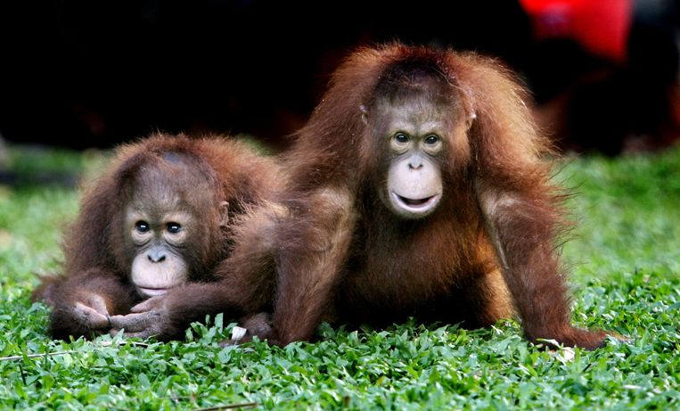 Twee jonge Orang-oetans in Borneo, Indonesië. Beeld anp