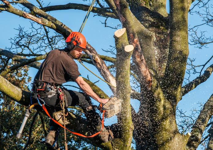 Er wordt onderhoud aan bomen geplaagd vanaf maandag.  Archieffoto Getty Images