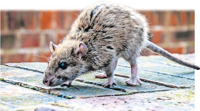 De Bilt kan de strijd tegen de rat niet aan.