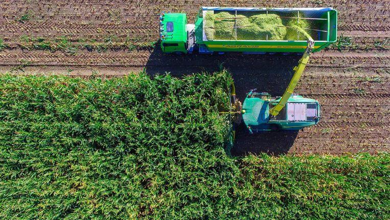 Speciaal 'energie maïs' om biobrandstof te maken op een akker in Frankfurt/Oder. Beeld epa