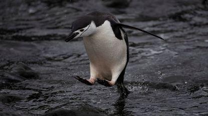 """Greenpeace: """"Aantal stormbandpinguïns op Antarctica afgelopen 50 jaar gedaald"""""""