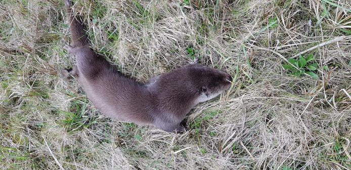 Een doodgereden otter aan de Ziendeweg in Aarlanderveen, in maart dit jaar.