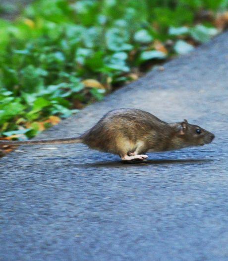 Met geurtjes overlast ratten te lijf gaan