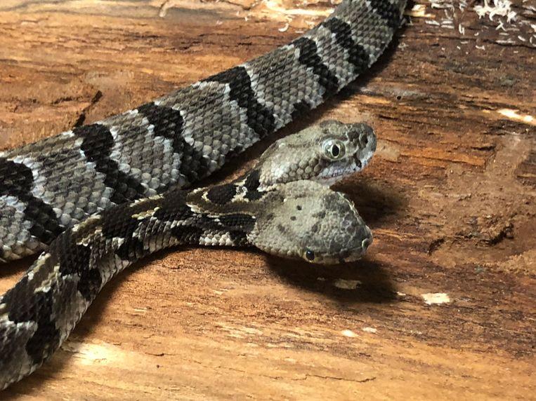 De tweekoppige ratelslang werd in het zuiden van New Jersey gevonden. Het toeval wil dat beide biologen Dave heten, dus noemden ze de slang heel toepasselijk 'Double Dave', D-D voor de vrienden.