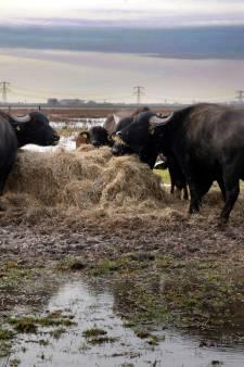 Extra voer voor waterbuffels op het droge in de Noordwaard