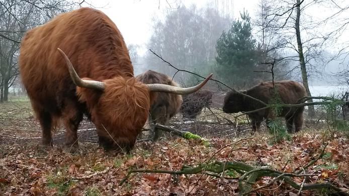 Nieuwsgierige Schotse Hooglanders bij De Moer