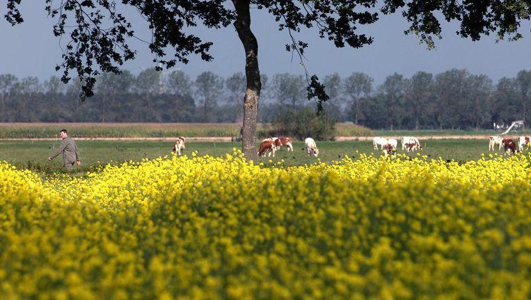Een veld met koolzaad, dat onder meer gebruikt wordt voor biodiesel. Beeld Marcel van den Bergh