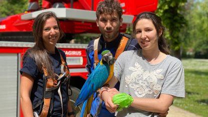 Man klimt in boom om papegaai van vriendin te halen, brandweer moet hen uiteindelijk allebei komen redden