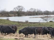 Hoogwater drijft Galloways samen