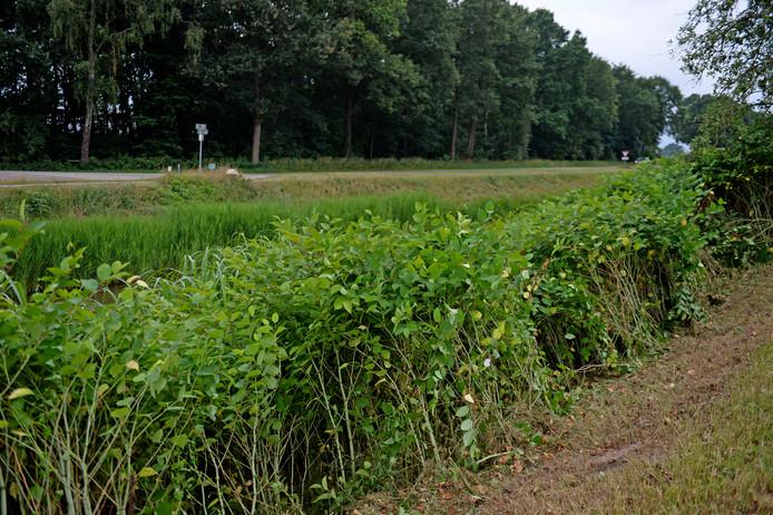 De Japanse Duizendknoop woekert op verschillende plekken in de gemeente Tubbergen, zoals aan het kanaal Almelo-Nordhorn.