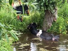 Dankzij dit heknummer kon de brandweer Gouderak snel een koe uit het water redden