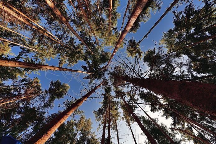 De letterzetter zorgt voor grote problemen in de bossen van Nederland en andere Europese landen. Vooral de fijnspar is de dupe.