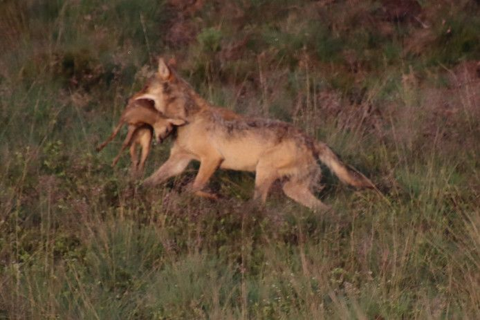 The wolf with her prey in National Park De Hoge Veluwe. Maybe you'll spot this animal with her cubs.