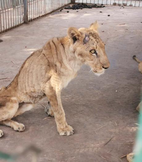 Uitgemergelde leeuwen schokken bezoekers dierentuin Soedan: 'Extreem ondervoed'