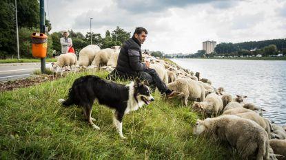 Stad zoekt nieuwe herders