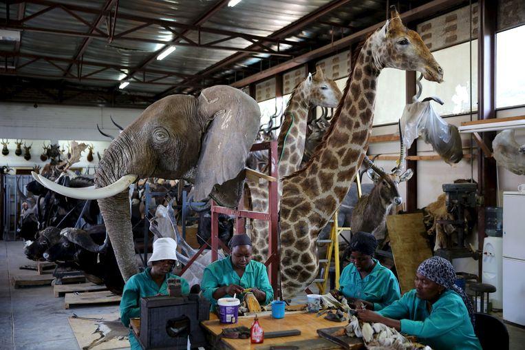 Een taxidermiewerkplaats in Pretoria, Zuid-Afrika. Beeld reuters