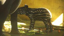 Schattige tapirbaby geboren in Zoo van Antwerpen