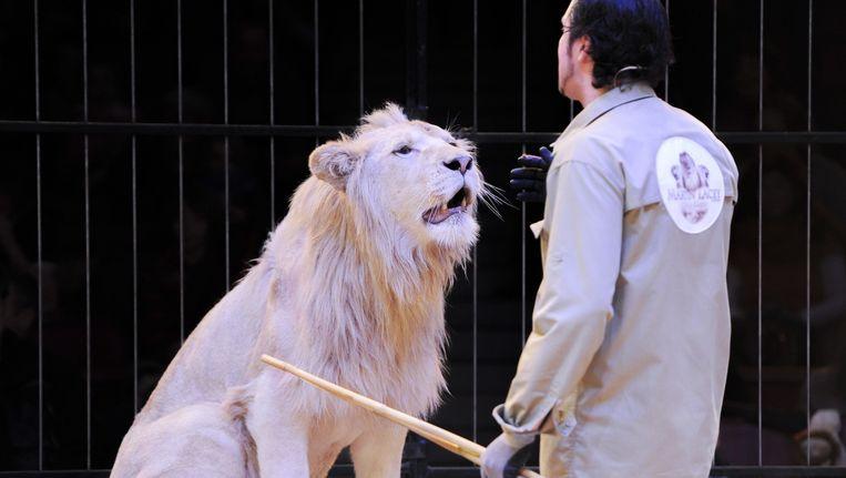 Circustrainer Martin Lacey traint een leeuw in het circus in Munchen. Beeld anp