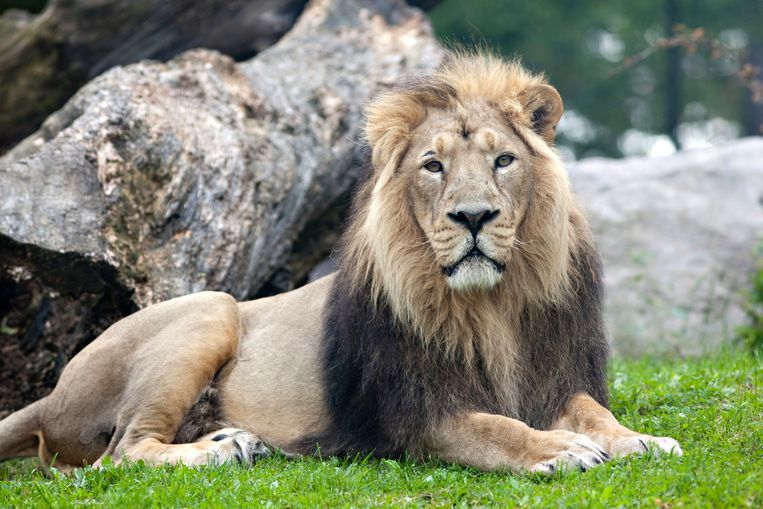 De Perzische leeuw wordt met uitsterven bedreigd.