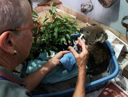 Het Port Macquarie Koala Hospital vangt ook tientallen andere verbrande koala's op, zoals hier Anwen.