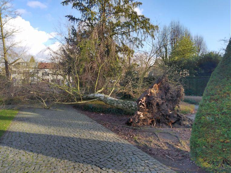 De aanhoudende wind velde dinsdagnamiddag een torenhoge boom in Park Peeters.
