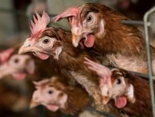 België ruimde 1,9 miljoen kippen na besmetting met fipronil