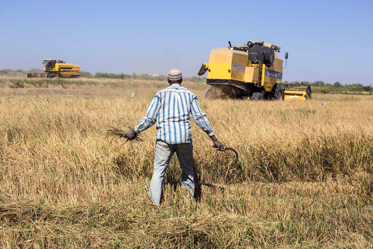 Grote felgele landbouwmachines rijden af en aan naar de oogstvelden. Beeld Sven Torfinn