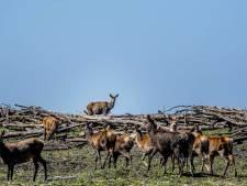 Staatsbosbeheer wacht met afschieten edelherten Oostvaardersplassen tot uitspraak rechter