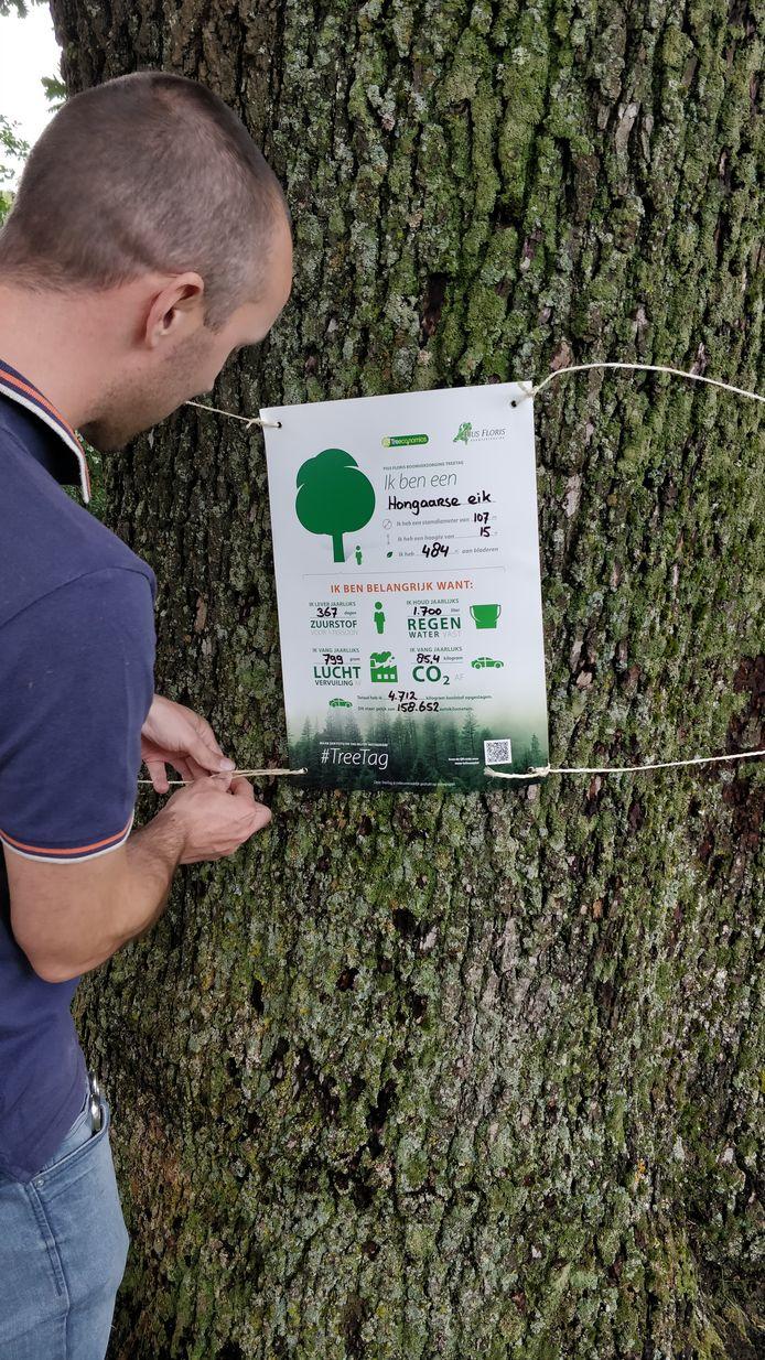 Een medewerker van Pius Floris Boomverzorging bevestigt een informatielabel een een 15 meter hoge Hongaarse eik. Deze boom staat op het Koninging Julianaplein in Hedel.
